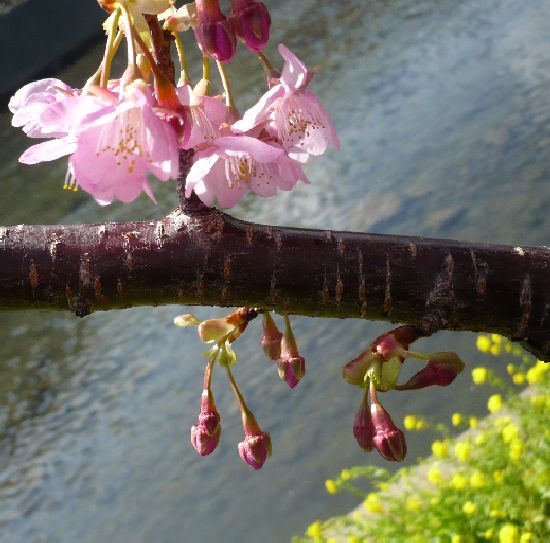 河津桜の枝のアップ