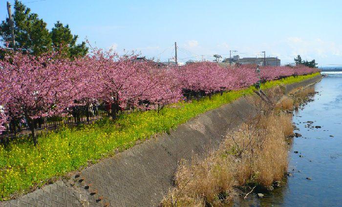 海まで並ぶ河津桜
