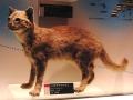 640px-Iriomote_cat_Stuffed_specimen.jpg