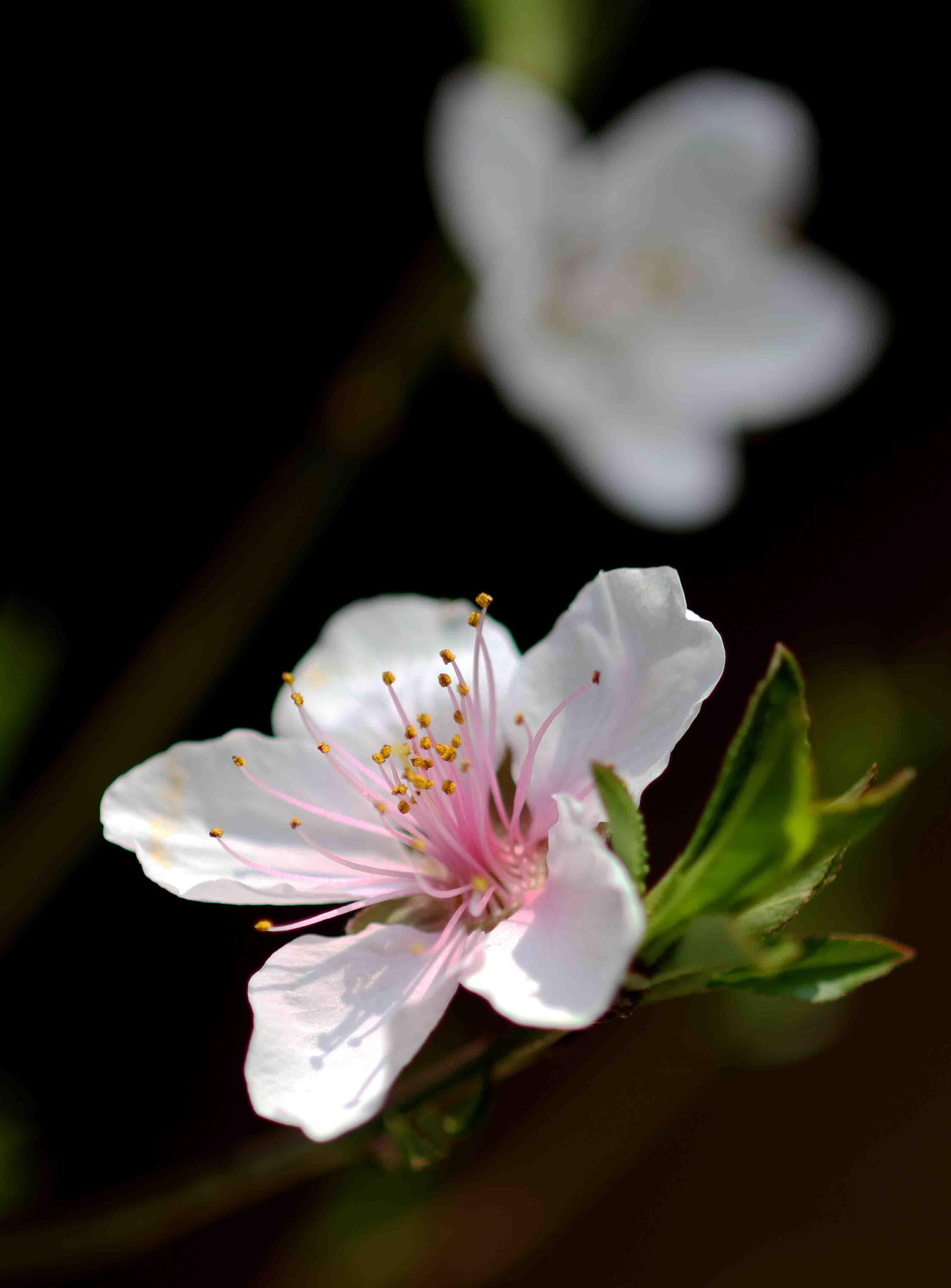 桃の花(1)