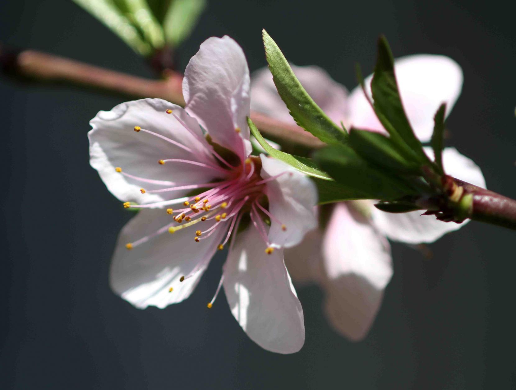 桃の花(2)
