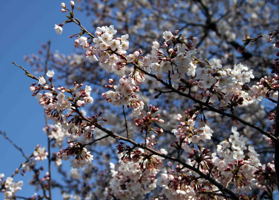 ヒットと桜 まだ5分咲き?(1)