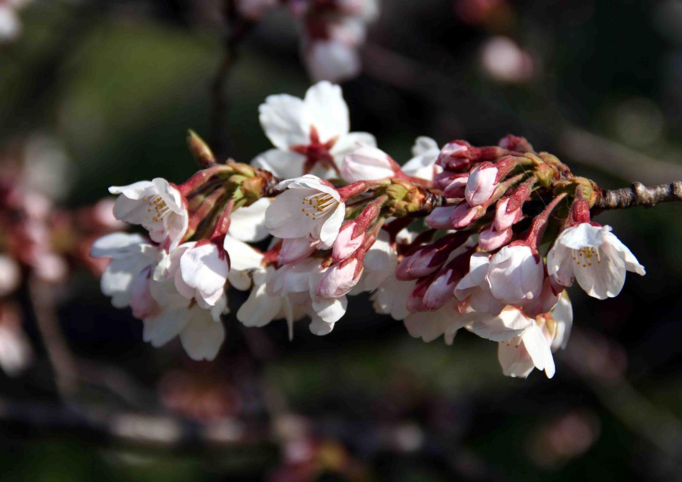 ヒットと桜 まだ5分咲き?(2)