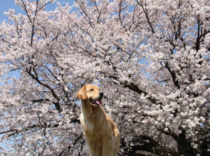 ヒットと桜 0412(1)