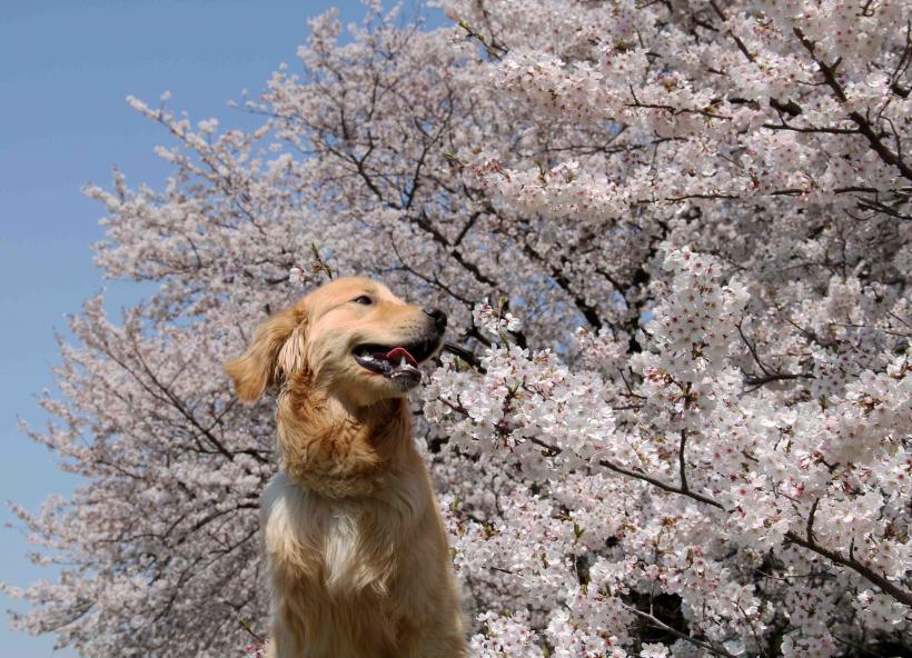 ヒットと桜 0412(4)