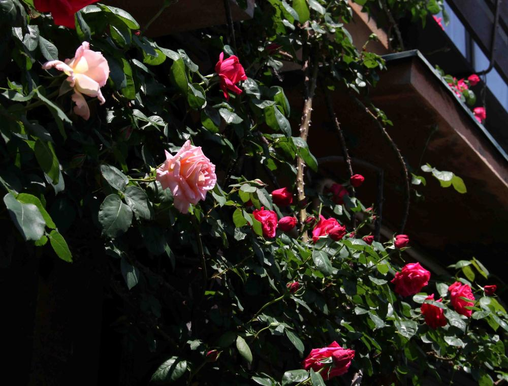 バラの花 0505(1)