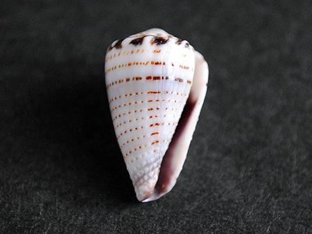 ガクフイモ-腹面