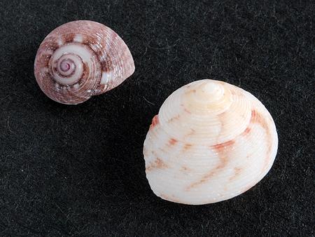 ヘソワゴマ-色違い