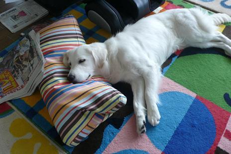 枕をする犬