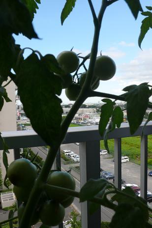 未熟なトマト