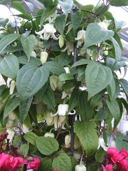 20130126冬咲きクレマチス
