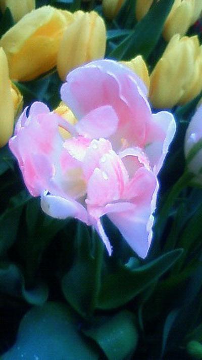 Tulip♪