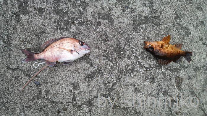 可愛い真鯛とメバル