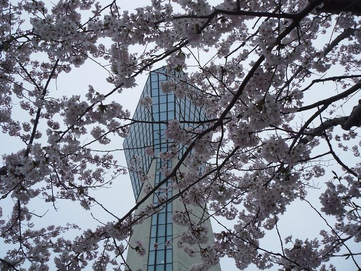 マリンタワー2012桜