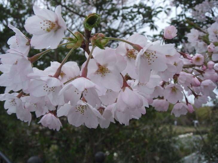 桜2012三崎公園