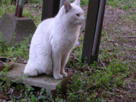 白猫 001