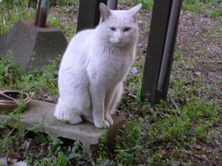 白猫 002
