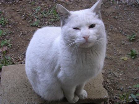 白猫 009