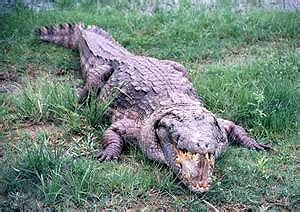 crocdile.jpg