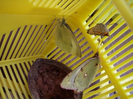 虫かごの中の蝶たち