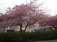 三浦の河津桜1