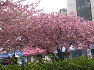 三浦の河津桜2
