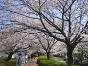 近くの桜の名所 遊歩道