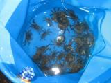 荒崎 蟹獲り