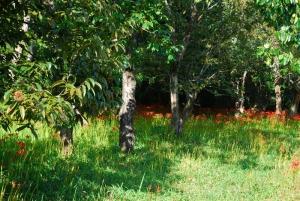 群生地のヒガンバナ