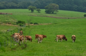 ジャージーランドの牛たち
