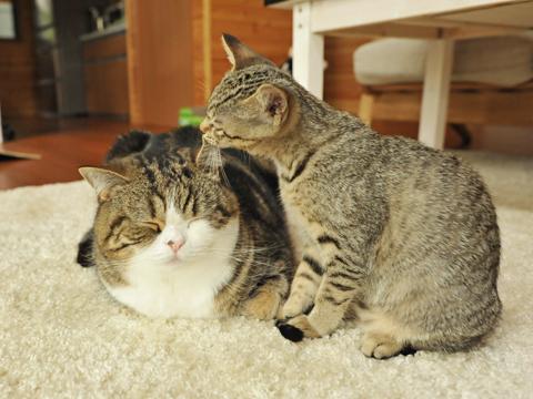 日本のタレント猫「まる」に ...