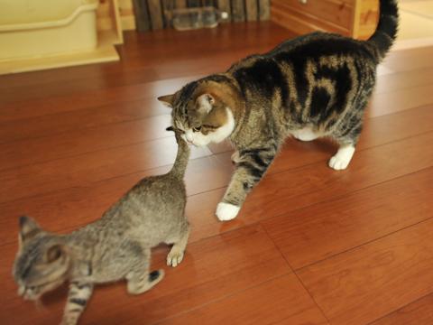 Maru follows the kitten about.