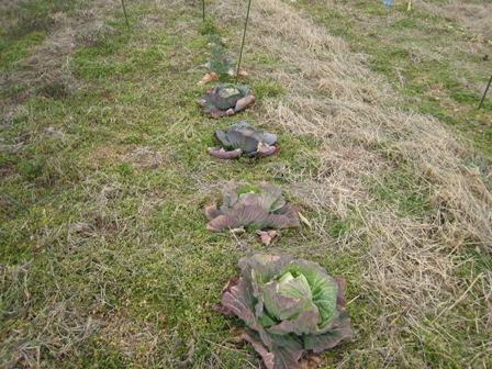 実験栽培の野菜 (4)