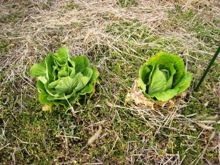 実験栽培の野菜 (1)