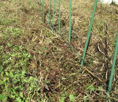 秋の豆類種まき