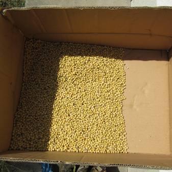 ダイズの脱穀 (4)