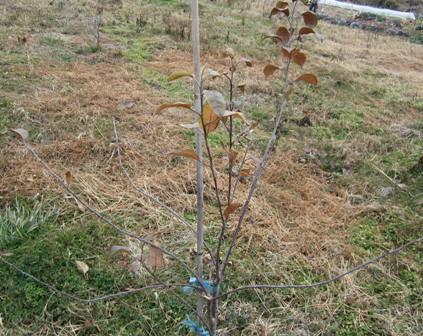 果樹 (1)