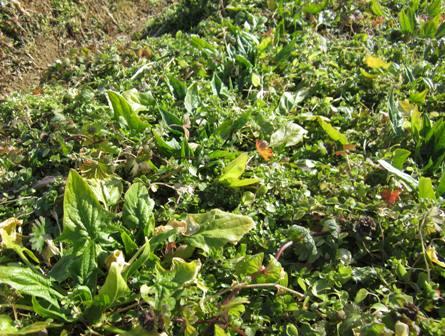 冬の路地野菜 (4)