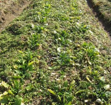 冬の路地野菜 (5)