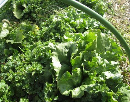 冬の路地野菜 (3)