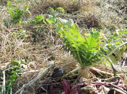 冬の路地野菜 (1)