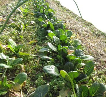 冬の路地野菜 (2)