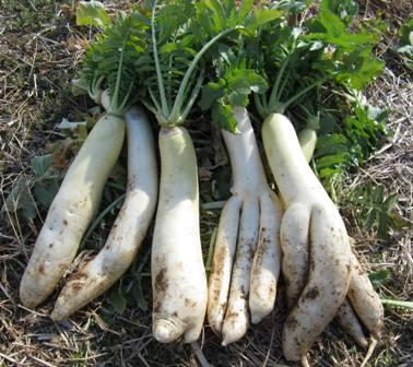 冬の路地野菜 (6)
