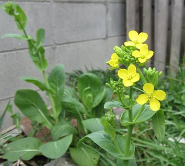 自生菜の花  (2)