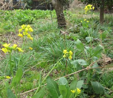 自生菜の花  (1)