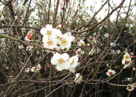 庭の梅 (2)