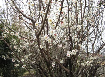 庭の梅 (1)