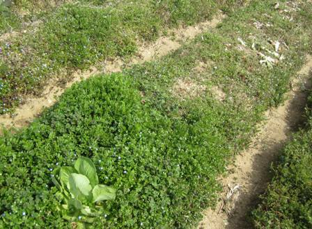 無施肥と油かす施肥 (2)