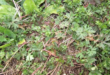 草とホウレン草 (アメリカフウロ)