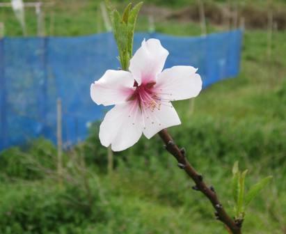 アーモンド開花